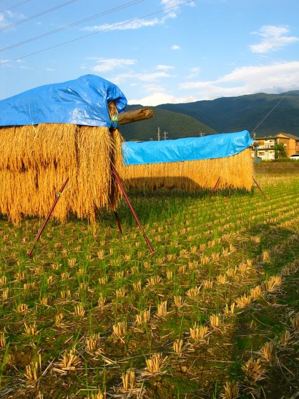 Matsumoto rice field